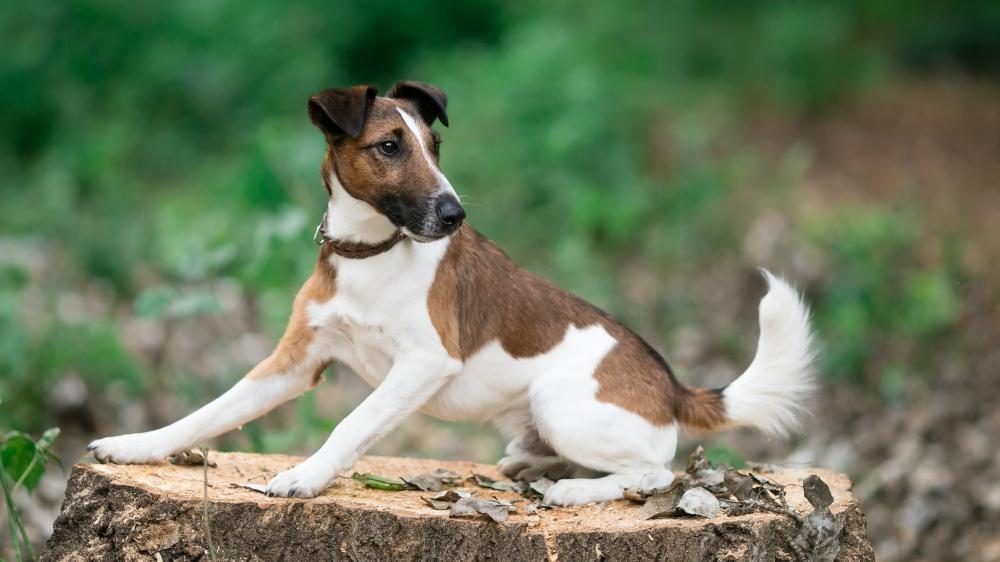 Fox Terrier À Poil Lisse - Standard de race FCI 12