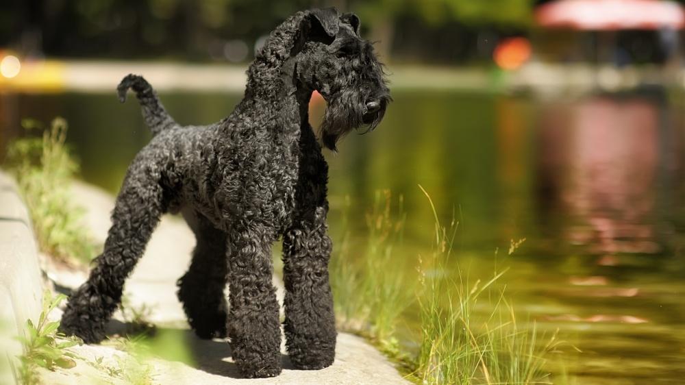 Terrier Kerry Blue - Standard de race FCI 3