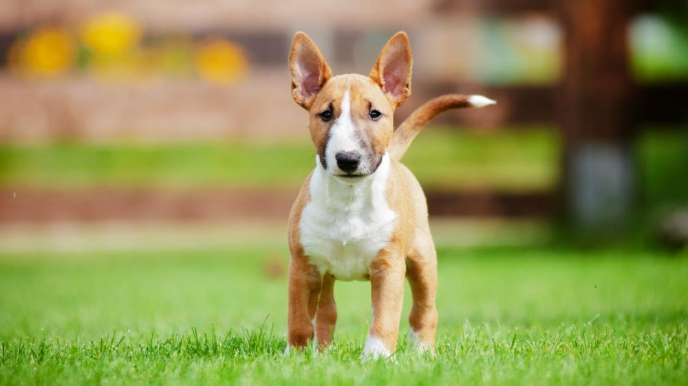 Bull Terrier Miniature - Standard de race FCI 11