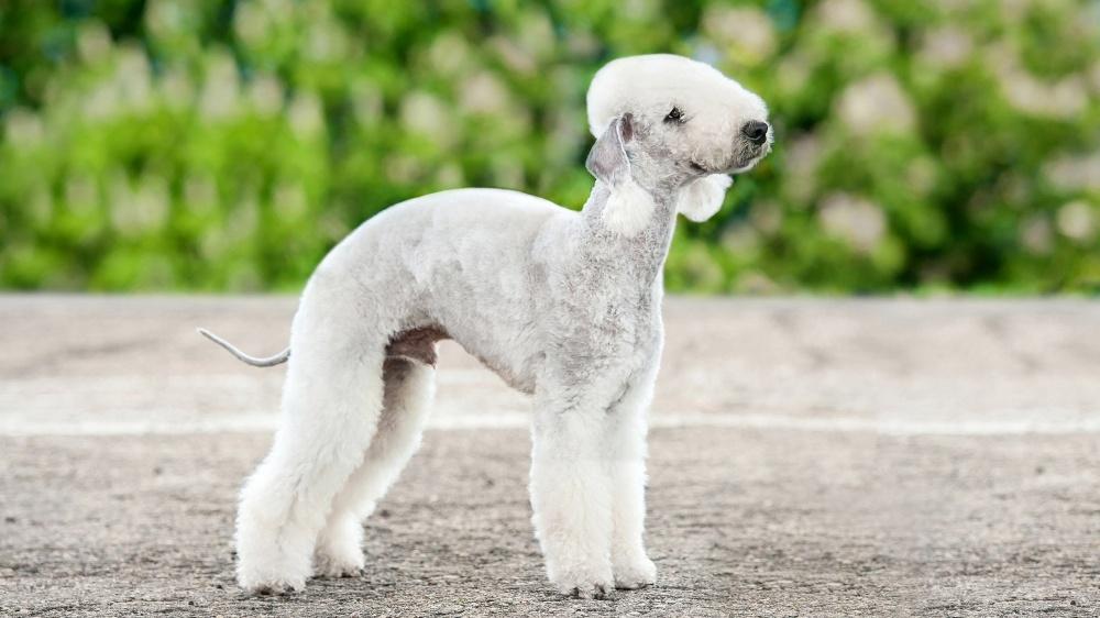 Bedlington Terrier - Standard de race FCI 9