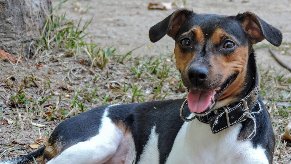 Terrier Bresilien - Standard de race FCI 341
