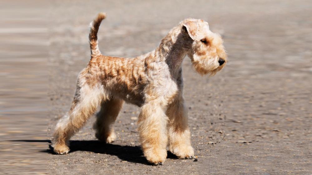Lakeland Terrier - Standard de race FCI 70