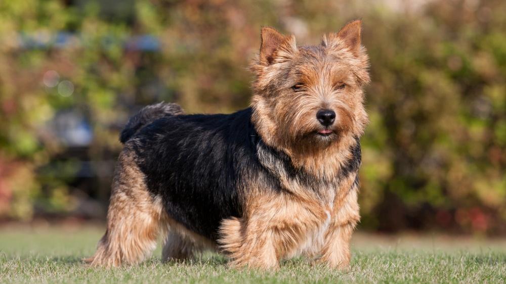 Norwich Terrier - Standard de race FCI 72