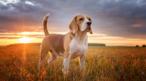 Beagle-harrier - Standard de race FCI 290