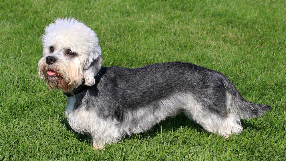 Dandie Dinmont Terrier - Standard de race FCI 168