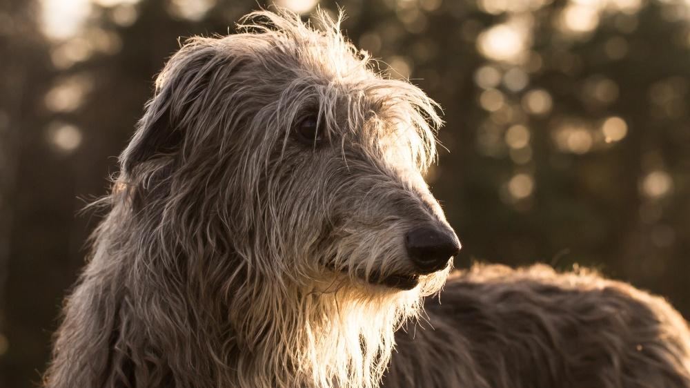 Deerhound - Standard de race FCI 164