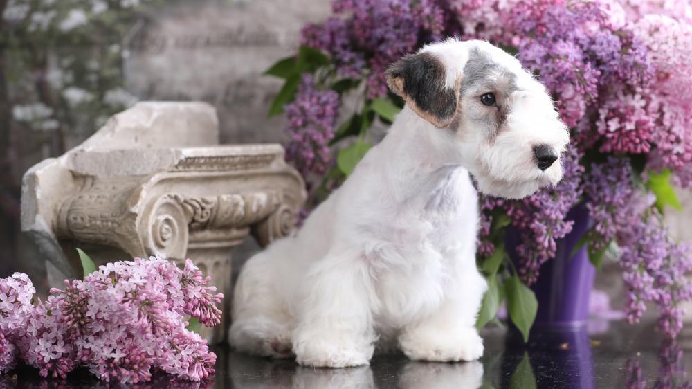 Sealyham Terrier - Standard de race FCI 74