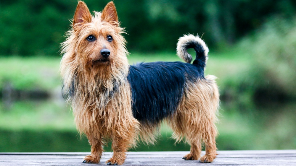 Terrier Australien - Standard de race FCI 8