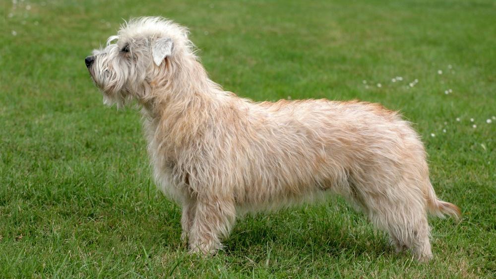 Terrier Irlandais Glen Of Imaal - Standard de race FCI 302