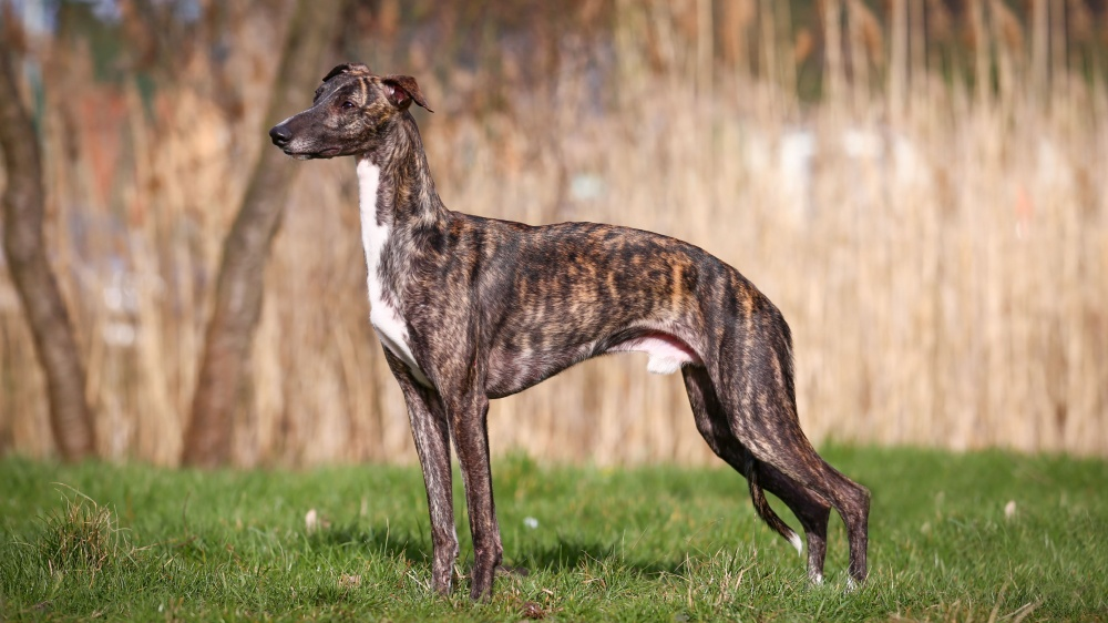 Greyhound - Standard de race FCI 158