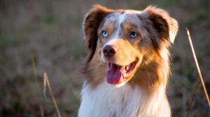 Chaleurs des chiennes - Précautions