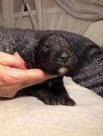 Chiot mâle bedlington terrier
