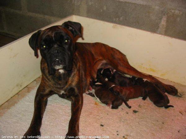 Populaire Photo chien de race Boxer, Serena et ses bébés - Eleveurs-Online.com IT32