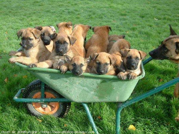 photo de chien de race berger belge malinois chiot de zo eleveurs. Black Bedroom Furniture Sets. Home Design Ideas