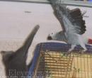 Elevage : <b>Chatterie El Condor Pacha</b> <span class='click'><a href='/eleveur,fiche,135,67066.html'>Ouvrir la fiche de l'éleveur</a></span>
