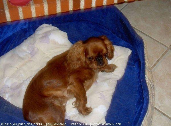 photo de chien de race king charles spaniel alesia du. Black Bedroom Furniture Sets. Home Design Ideas
