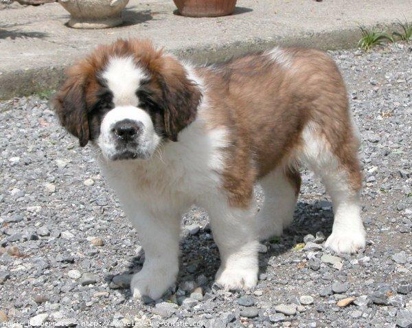 Photo de chien de race Saint-bernard poil long, Angie