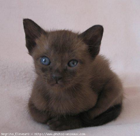 Photo de chat de race tonkinois poil court negrito - Chaton tonkinois ...
