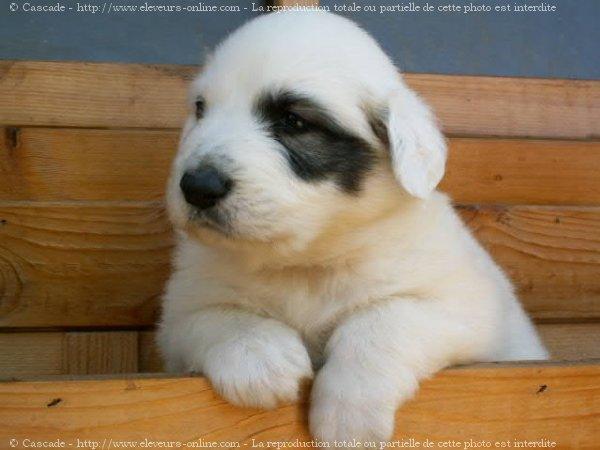 photo de chien de race chien de montagne des pyr n es b b eleveurs. Black Bedroom Furniture Sets. Home Design Ideas