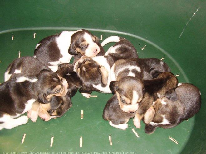 photo de chien de race beagle bebe eleveurs. Black Bedroom Furniture Sets. Home Design Ideas