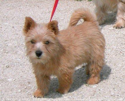 Photo de chien de race Norwich terrier, Windermer's ...