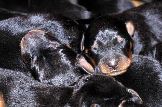 photo de chien de race berger de beauce chiot de bise eleveurs. Black Bedroom Furniture Sets. Home Design Ideas