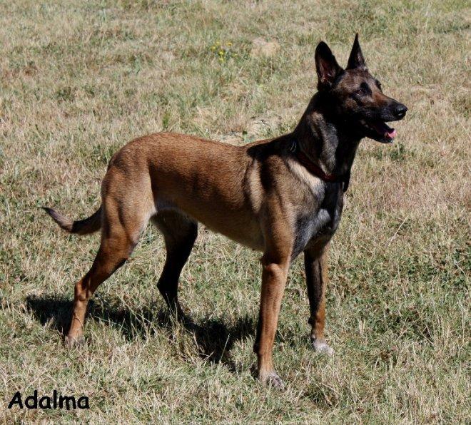 Photo de chien de race Berger belge malinois, Adalma des