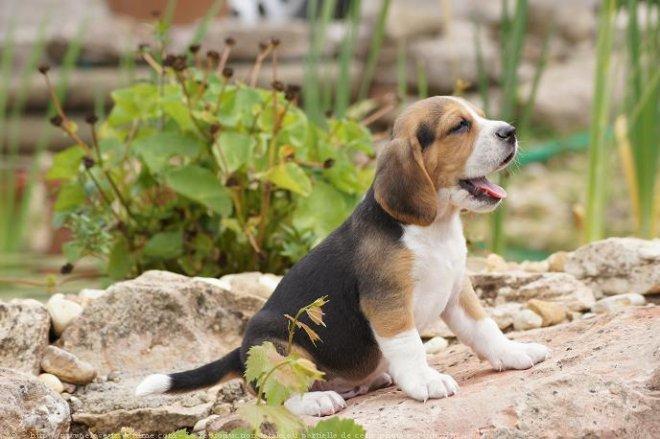photo de chien de race beagle chiot de l 39 levage du clos du bo eleveurs. Black Bedroom Furniture Sets. Home Design Ideas