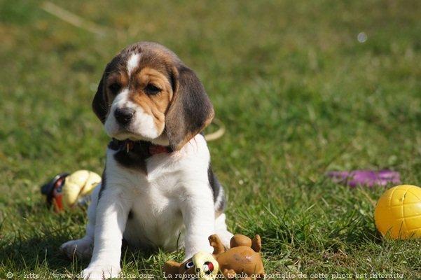 photo de chien de race beagle chiot beagle eleveurs. Black Bedroom Furniture Sets. Home Design Ideas