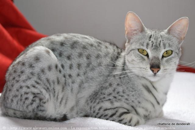 photo de chat de race mau egyptien  farah du fort de la