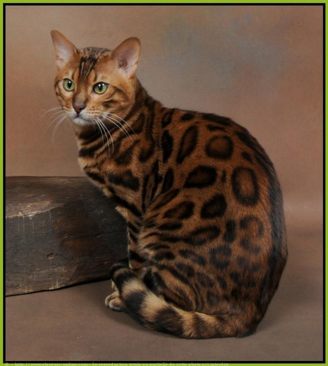 Acheter un chat savannah en france