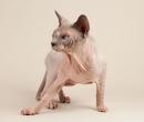 Elevage : <b>Lorien'cats</b> <span class='click'><a href='/eleveur,fiche,159,10594.html'>Ouvrir la fiche de l'éleveur</a></span>