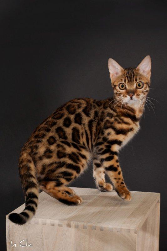 Bengal Cat Online Uk