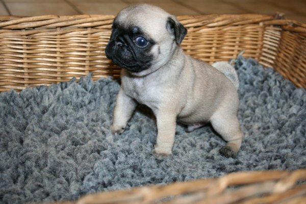 photo de chien de race carlin chiots 1 mois eleveurs. Black Bedroom Furniture Sets. Home Design Ideas