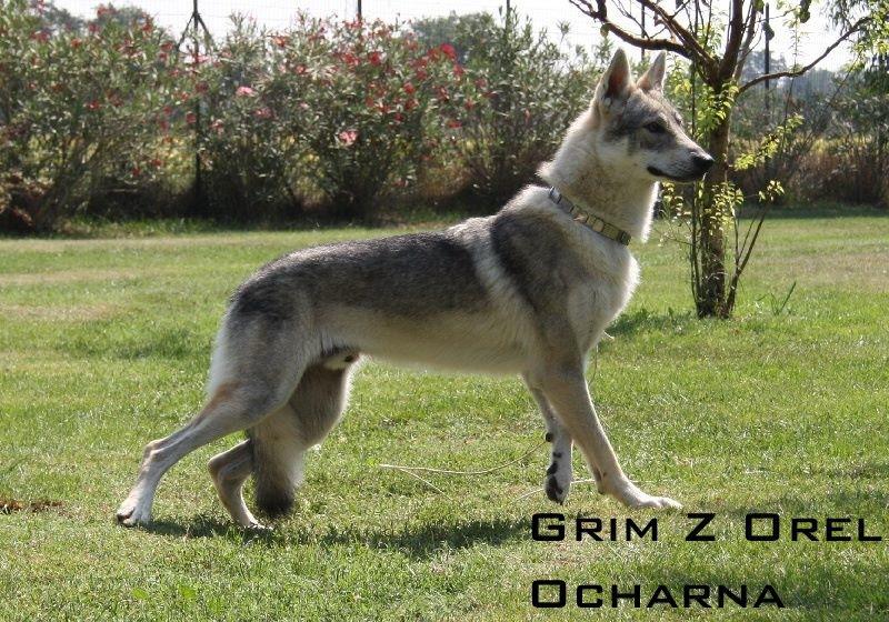 photo de chien de race chien loup tch coslovaque grim z orel ochrana eleveurs. Black Bedroom Furniture Sets. Home Design Ideas