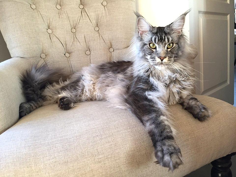 Chat de race Maine coon