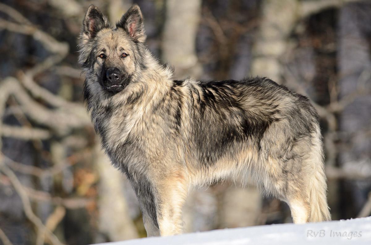 Extrêmement Photo chien de race Berger allemand à poil long, Alys de la léende  SF68