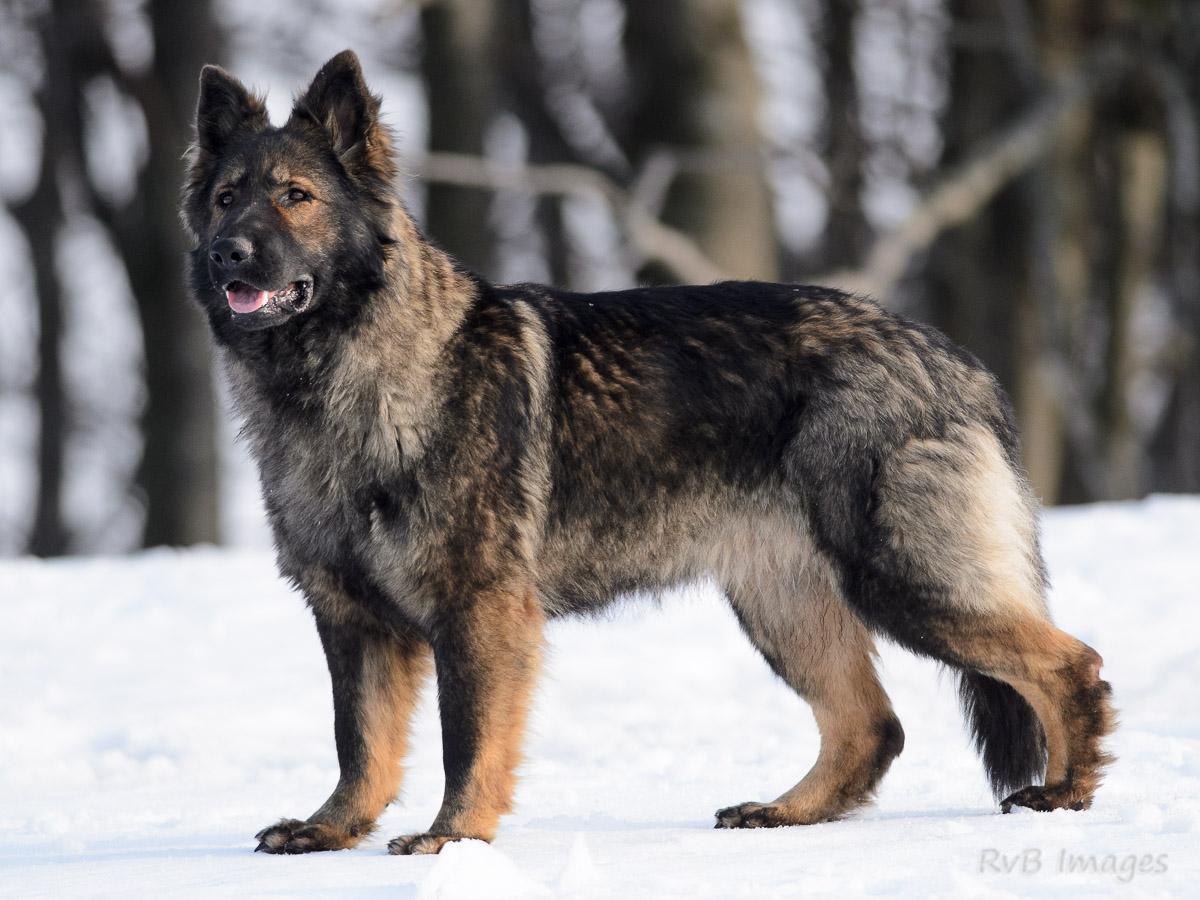 Extrêmement Photo chien de race Berger allemand à poil long, Chan de la  SF68