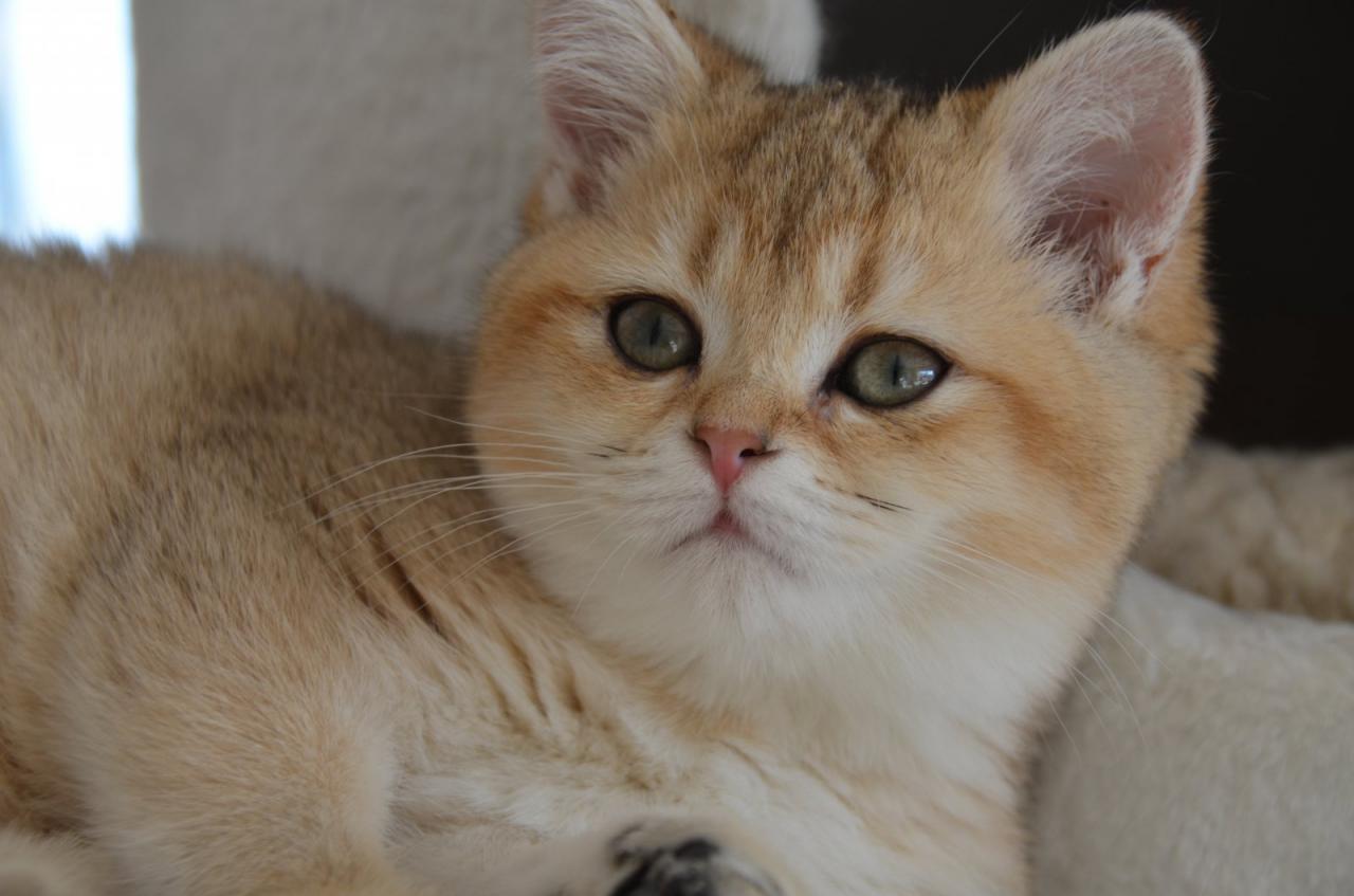 photo de chat de race british shorthair  golden shaded