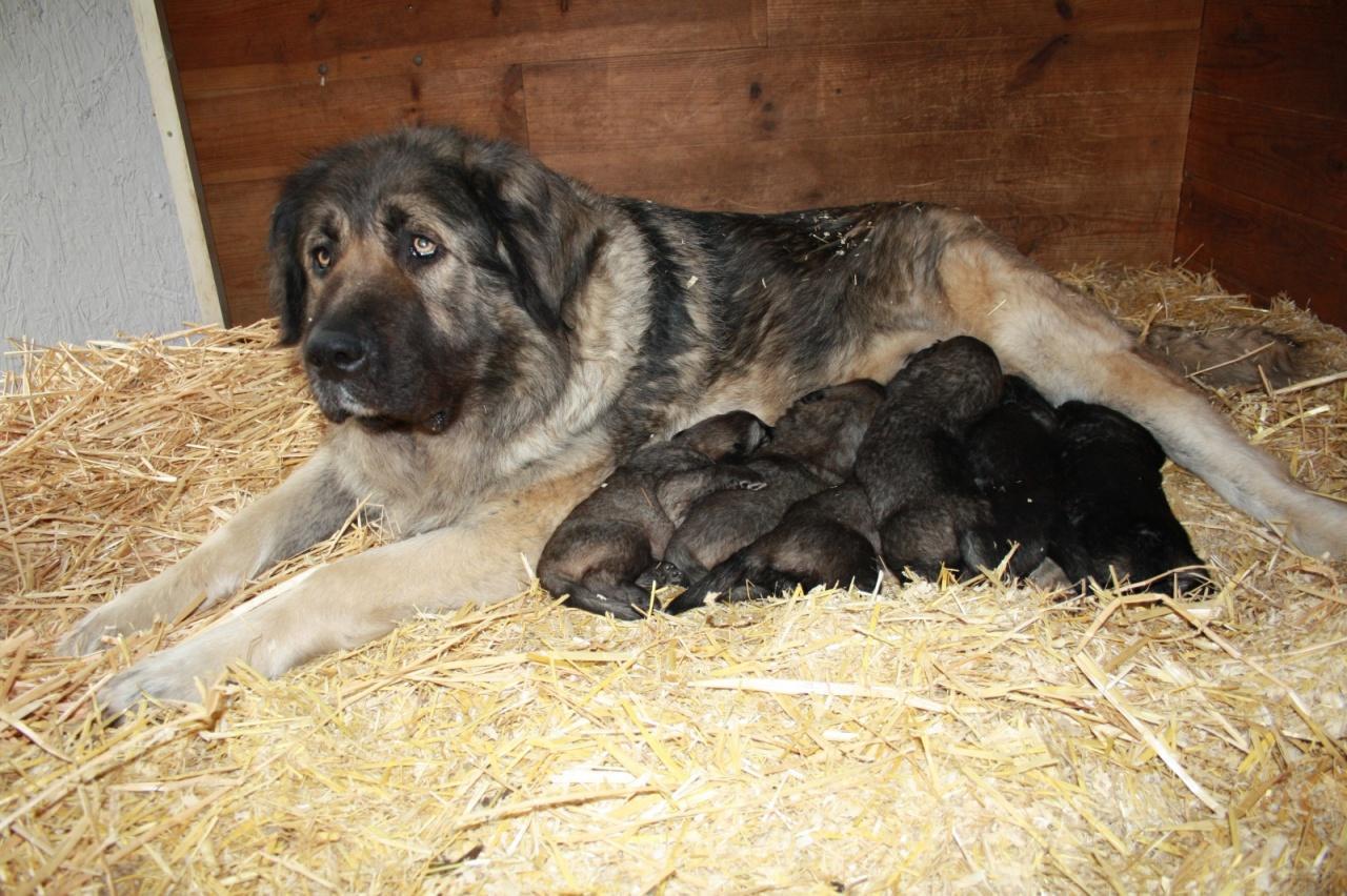 photo de chien de race berger du caucase gaby et ses chiots eleveurs. Black Bedroom Furniture Sets. Home Design Ideas