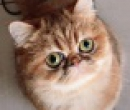 Elevage : <b>Nice Cats</b> <span class='click'><a href='/eleveur,fiche,140,145153.html'>Ouvrir la fiche de l'&eacute;leveur</a></span>