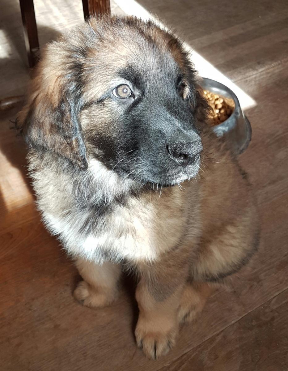 Photo de chien de race Leonberg, Maëna presque 2 mois