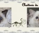 Elevage : <b>Chatterie Du Castel Walou</b> <span class='click'><a href='/eleveur,fiche,153,114921.html'>Ouvrir la fiche de l'éleveur</a></span>