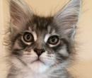 Elevage : <b>Sweet Hend So Cattery</b> <span class='click'><a href='/eleveur,fiche,143,137946.html'>Ouvrir la fiche de l'&eacute;leveur</a></span>