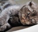 Elevage : <b>De La Blue Bonnie Cat</b> <span class='click'><a href='/eleveur,fiche,154,145699.html'>Ouvrir la fiche de l'éleveur</a></span>