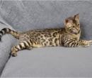 Elevage : <b>Bengal Anak Kucing</b> <span class='click'><a href='/eleveur,fiche,129,144293.html'>Ouvrir la fiche de l'éleveur</a></span>