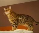 Elevage : <b>Bengal Anak Kucing</b> <span class='click'><a href='/eleveur,fiche,129,144293.html'>Ouvrir la fiche de l'&eacute;leveur</a></span>