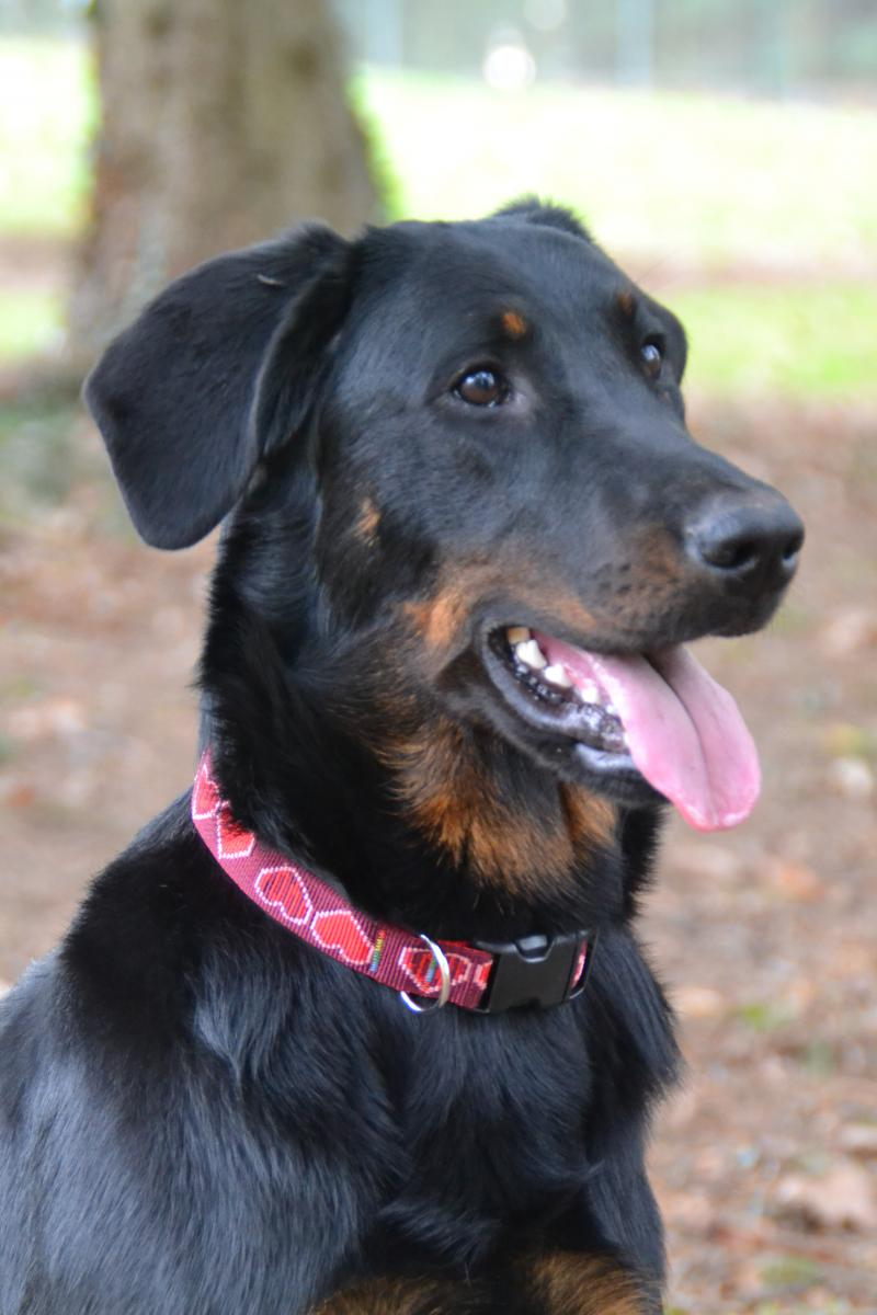 Elevage Beauceron Nord