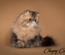 Elevage : <b>Chapy Cat's</b> <span class='click'><a href='/eleveur,fiche,149,137960.html'>Ouvrir la fiche de l'&eacute;leveur</a></span>