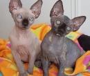 Elevage : <b>Art Déco Cat`s By</b> <span class='click'><a href='/eleveur,fiche,159,148462.html'>Ouvrir la fiche de l'&eacute;leveur</a></span>